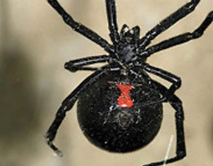pest-elimination-park-city-black-widow-removal
