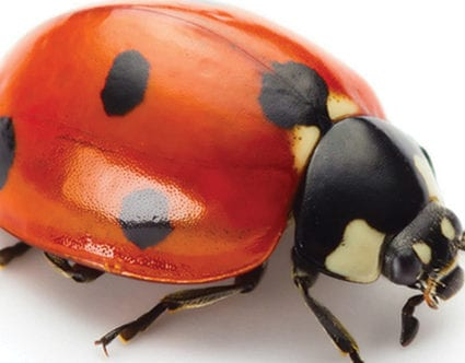 pest-elimination-park-city-lady-bug-removal