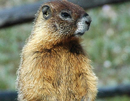 pest-elimination-park-city-marmot-removal