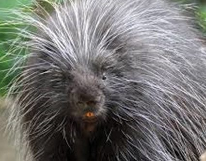 pest-elimination-park-city-porcupine-removal