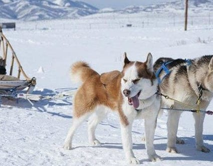 luna-lobos-utah-dog-sledding-tours